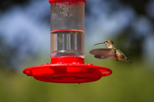 Broadtailed Hummingbird feeding
