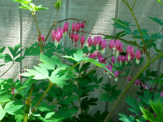 Bleeding Hearts bloom in Spring.