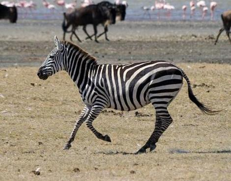 Zebras are normally found in herds - safety in numbers!