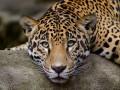 Leopards and Jaguars