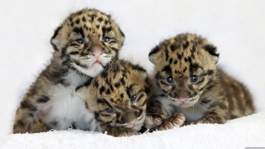 3 baby leopard cubs