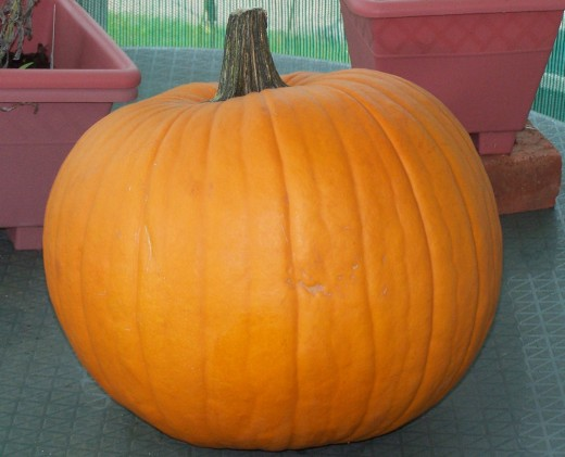 A fat pumpkin's ready to carve...