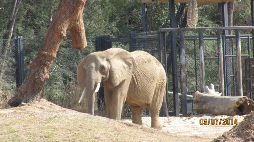 An older elephant