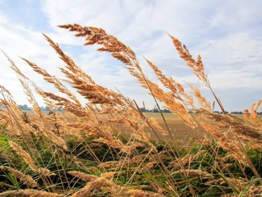 Oats in a Field