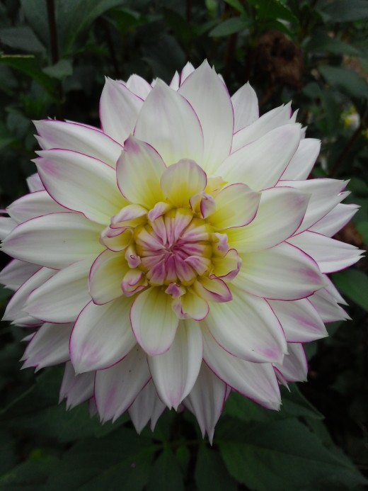 This dahlia looks well for the 20th of October!