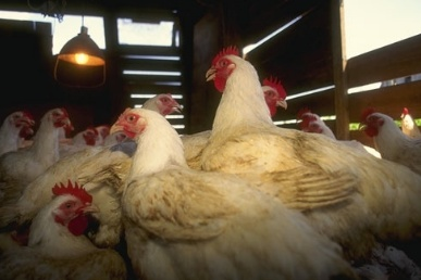 Broiler house chickens