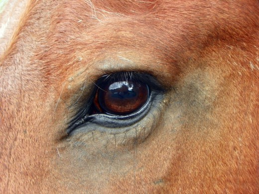 A horse's eyes are designed to help them see predators