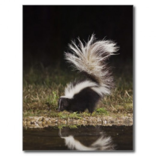 Skunk with raised tail