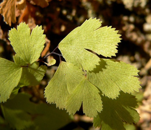 The Ginkgo tree took its common name of Maidenhair tree from the superficial resemblance of its foliage to that of this fern