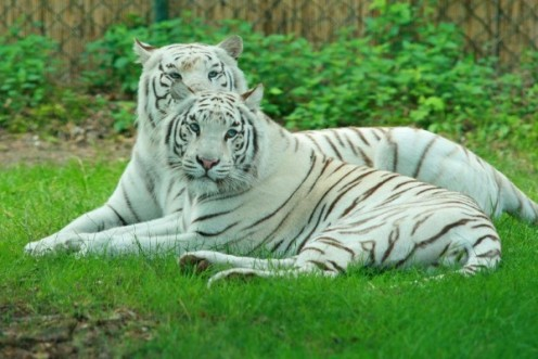 A pair of white tigers.