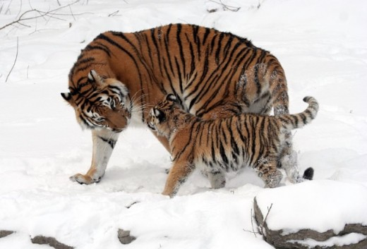 Siberian mother with cub.