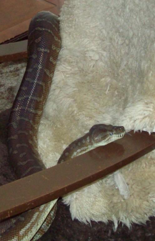 Wandering python.