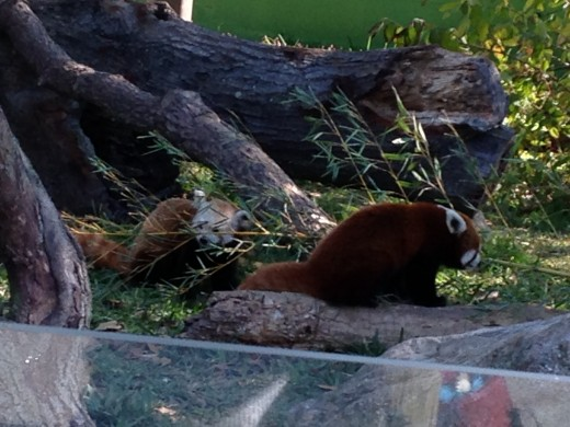 Two of the zoo's red pandas