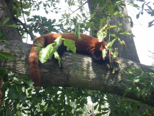 A red panda sleeping in the trees