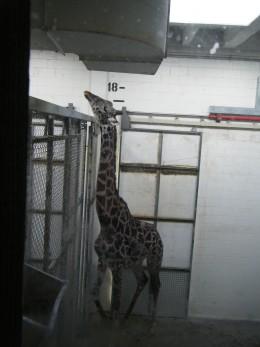 A giraffe inside the enclosure for giraffes and elephants.