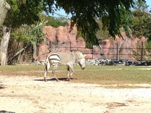 One of the many zebra.