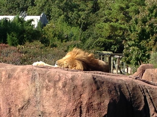 The male lion sleeping on the heated rock.