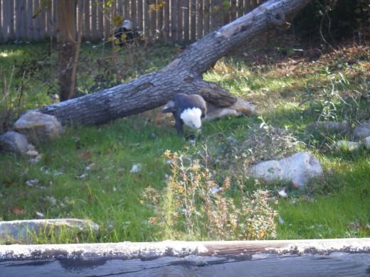 A bald eagle eating a fish