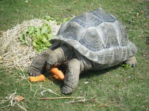 A species of giant tortoise enjoying carrots