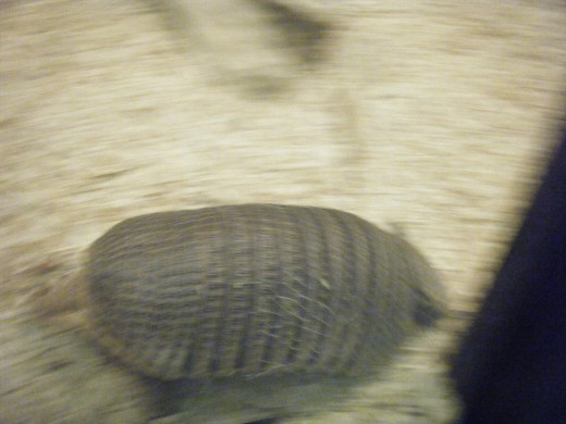 Armadillos are very hard to get pictures of when the are moving.