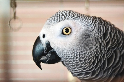 Healthy parrots have very clear and sharp eyes. Cloudy eyes may indicate sickness, though not always.