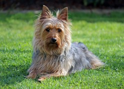 Great stuff for Silky Terriers!
