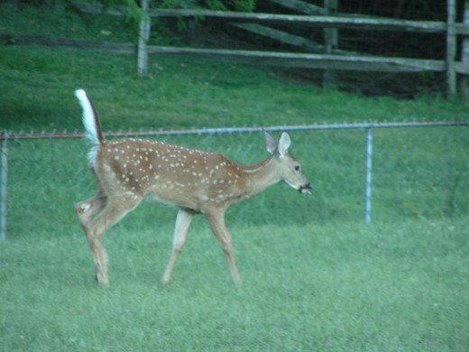 Don't be the hind end of a deer.