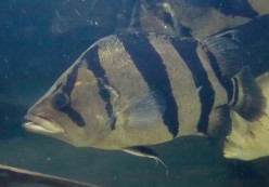 Critique of O'Brien et al.'s African Tigerfish Paper in Regards to McMillan's Suggestions