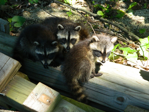 Baby raccoon visitors to our country home