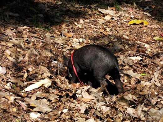 The pig in a leash!