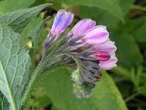 Comfrey flower