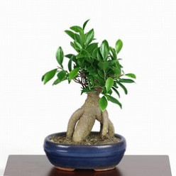 Ficus Ginseng Bonsai-  Ginseng Power For The Bonsai Lover