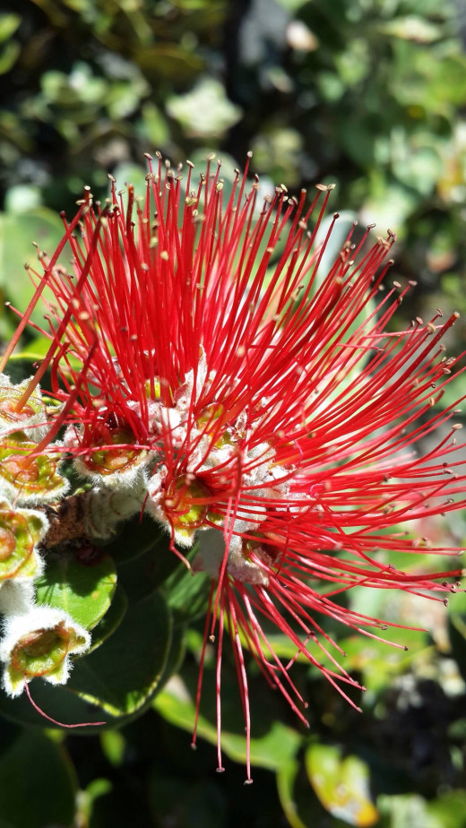 The beautiful Lehua blossom. This picture was taken by me next to Kilauea's crater, where I heard the legend that inspired this poem.