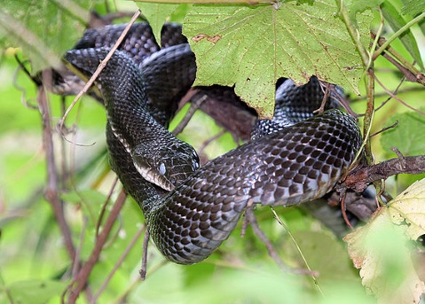 Rat snake.