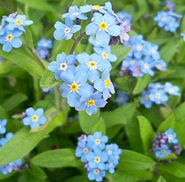 Forget-Me-Not - so pretty, so free seeding...