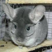 Cute Chinchillas profile image