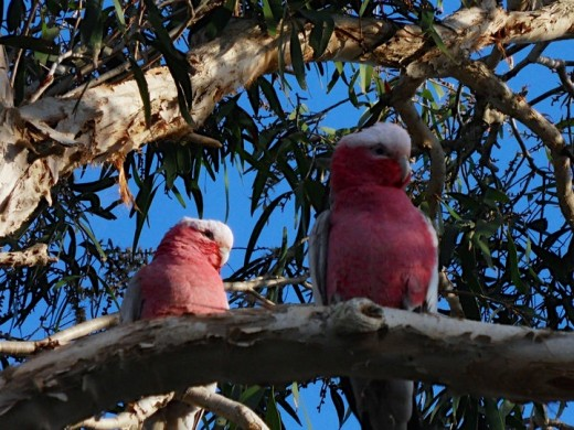 Two Galah's sitting in a tree.