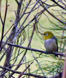 Silvereye Bird.  Taken in 2008