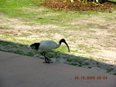 White Ibis- Feeds on insects and small creatures