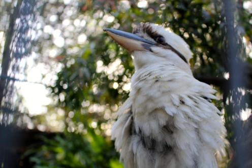 Laughing Kookaburra - Largest Kingfisher.