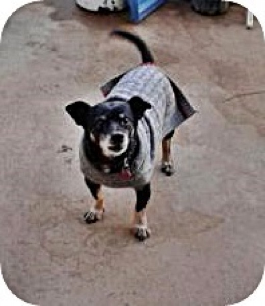 Chiweenies get cold when it is below 60 degrees F. Shadow wears a sweater.