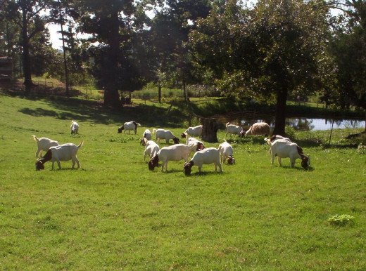 To produce meat goats economically one needs plenty of well fenced pasture so the goats can harvest forages themselves.