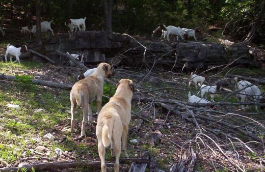 Anatolian Shepherd Guardian Dogs Protecting Goats From Predators