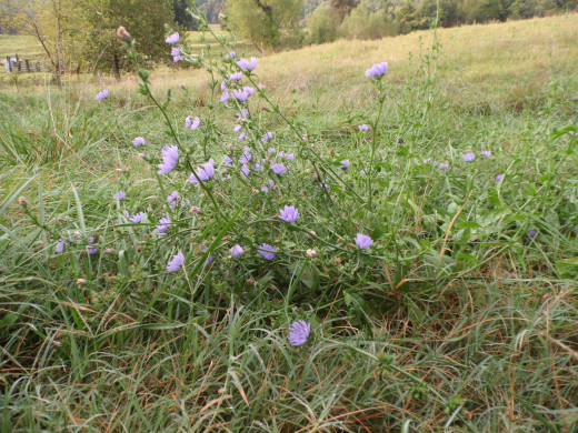 Forage Chicory
