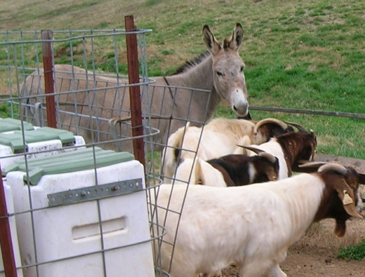 Lamas and donkeys protect goats from predators