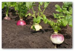 Growing Turnips in Your Garden
