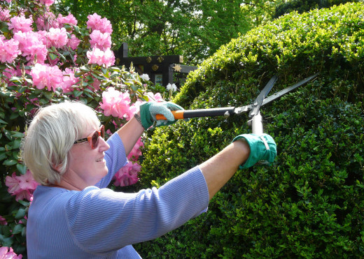 Boxwood clipping with two-handed shears (There are many things that you can do with topiary - it is an art form.