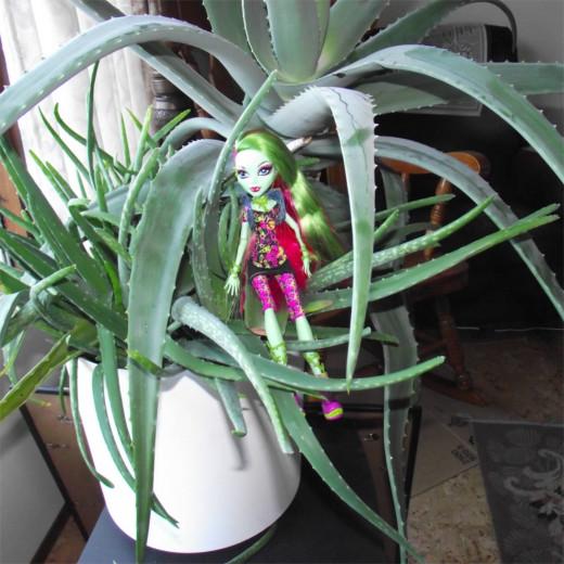 Venus Flytrap and Healing Aloe Plant.