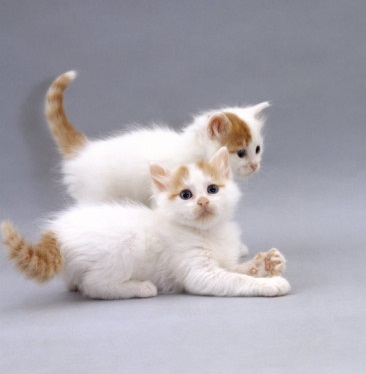 Turkish Van Kittens.