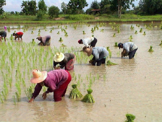 Farmers harvesting rice, in the Ubon countryside.